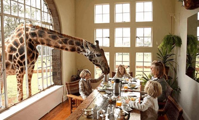 Giraffe Manor - Giraffe Breakfast